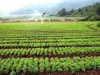 cultivos de schizandra sinensis