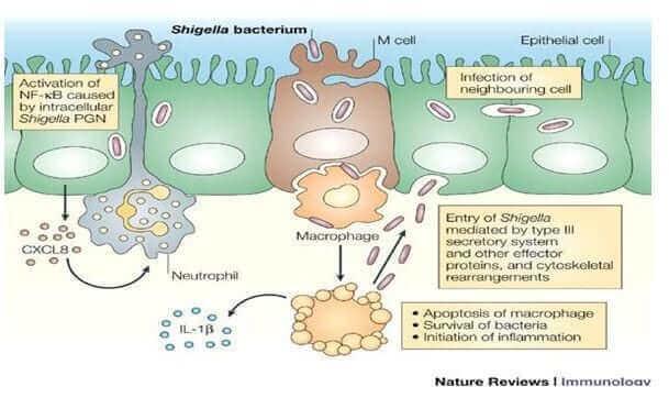 Shigelia-bacteria