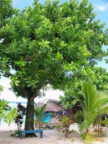 arbol-del-tamanu