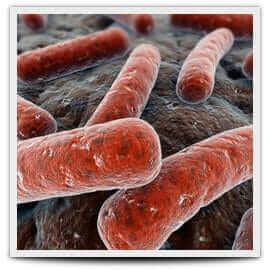 bacillus subtilus