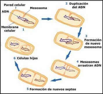 reproduccion bacteriana