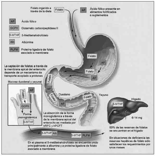 digestion-folato