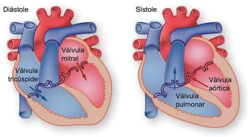 funciones del corazón