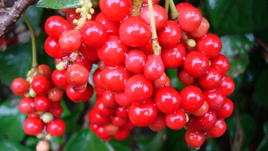 Beneficios-de-la-Schizandra
