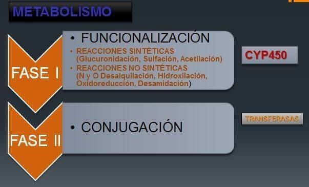 funciones de los citocromos