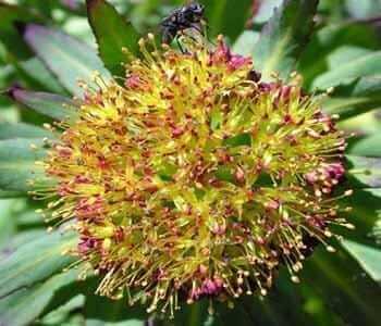 flor de la rodhiola