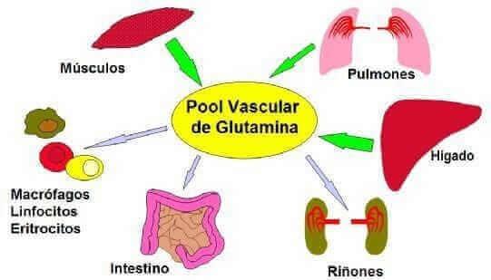 acciones de la glutamina