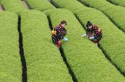 recogida del te verde
