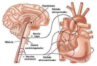 regulacion del corazón