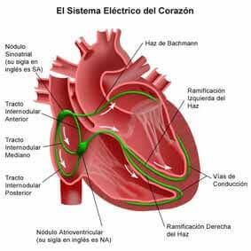 sistema eléctrico cardíaco